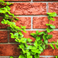 Another brick in the wall | 134/366 (emrold) Tags: leaves wall square bricks vine urbannature nikcolorefex day134366 iphoneography week19theme lensblr photographersontumblr 13may16 appleiphone6s iphone6sbackcamera415mmf22 2016ericdelorme|emrold 366the2016edition 3662016