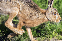 Hare (peterspencer49) Tags: uk hare brownhare peterspencer peterspencer49