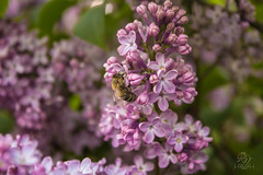 IMG_0067 (Teekanne2) Tags: pink summer plants flower tree green bush purple blossom outdoor sommer pflanzen lila bee lilac grn blume blte baum busch biene flieder drausen