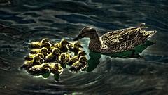 A Bedtime Story (vgphotoz) Tags: blue arizona nature water birds yellow dawn nikon outdoor dusk ngc ducks nikkor bedtimestory vgphotoz