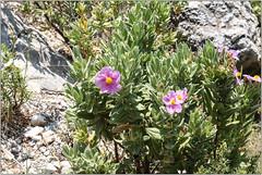 Cistus (Mabacam) Tags: walking landscape outdoors countryside spain track village hiking andalucia trail moorish wildflowers cistus silkroute 2016 competa
