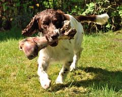 19/52 ZigZag 2016 (Flemming Andersen) Tags: dogs spring hund bone zigzag 52weeksfordogs