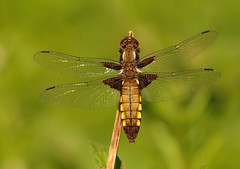 Broad Bodied Chaser (Severnrover) Tags: dragonfly odonata