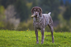 Weimaraner, Dog (Albert Photo) Tags: wild dog pet game green field smart pose stand pointer fierce outdoor watch hunting large weimaraner terrible stare posture fearful royalty position confidence unfriendly gundog bigboss