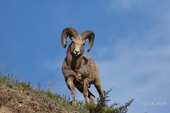 Rocky Mountain Bighorn Sheep (Maja's Photography) Tags: wild mountains nature animals bc sheep wildlife horns depthoffield alberta wilderness mountainsheep
