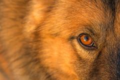 Deep Eyes #2 (Riccardo Malorni - The Light Hunter) Tags: sunset dog brown sun elephant beauty face cane nose eyes perfect bokeh deep symmetry whiskers occhi simmetria naso germanshephard baffi pastoretedesco