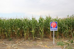 A4023BtRR (RealAgriculture.com) Tags: canada hail insect corn harvest alberta ag western damage agriculture borer cobs prideseeds