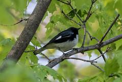 Black-throated Blue Warbler (maractwin) Tags: cambridge birds us unitedstates massachusetts watertown mtauburncemetery blackthroatedbluewarbler