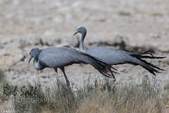 The Endemic Blue Crane (robsall) Tags: africa vacation bird birds canon crane birding aves cranes ave endemic namibia canoneos teleconverter vulnerable bluecrane bluecranes 2015 threatened 14xtc oshikoto anthropoidesparadiseus 7dmarkii canon7d2 canon7dmarkii canon7dmark2 canon500mmf414x robsallphotography 7dm2 7dmark2 7dmii canoneos7dmark2 canon7dm2 canoneos7dm2 14xiiitc 50014x canon500mmf4lisiiusm14xiii canon500mmf4ii14xiii vulnerablethreatened