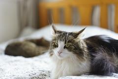 Hey Mom, is that AF today focus be? (miyukiz4 su ood) Tags: cat kitten gatinho gatito ktzchen chaton  gttino