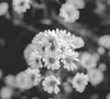 IMG_4175 (Josy'ta) Tags: rose rosas rosascolombianas flowers flores flor diadosnamorados love
