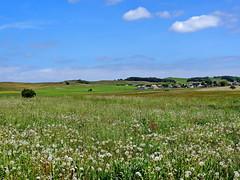 Gro Zicker (Wunderlich, Olga) Tags: nature landscape natur insel rgen landschaft mecklenburgvorpommern pusteblumen mnchgut hgellandschaft groszicker