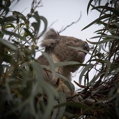 Koala Watchtower (radar oreilly) Tags: trees gum koala sandypoint