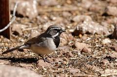 7b-black-throatedsparrow-6578 (h.redpoll) Tags: bigbendtrip blackthroatedsparrow davismountainsstatepark feeders texas westtexas
