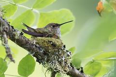 Rufous hummingbird (Selasphorus rufus) (Tony Varela Photography) Tags: hummingbird rufoushummingbird selasphorusrufus hummingbirdnest bidnest rufoushummingbirdnest photographertonyvarela