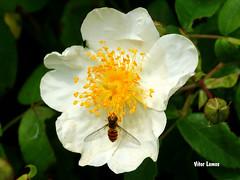 Flor espontanea (verridrio) Tags: naturaleza flower planta nature fleur countryside flora sony natur flor blumen natura fiore  insekt insetto insecte  insecto iek bcek mondego    doa