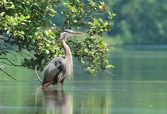 Great Blue Heron (hennessy.barb) Tags: heron greatblueheron lakerobinson barbhennessy