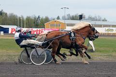 IMG_2420 (lovelymelancholy) Tags: horses horse hevoset hevonen horseraces ravit imrautio ravihevonen oulunravirata