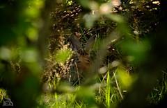 Conejo a la sombra // Rabbit in the shade {Oryctolagus cuniculus} (Cazadora de Fotos) Tags: wild naturaleza forest afternoon conejo free sombra natura rabit descansando salvaje maleza oryctolagus cuniculus