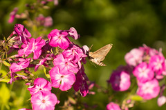 butterfly collects nectar (mikhailanikaev) Tags: flower background butterfly summer nature spring animal moth hawk hummingbird closeup life south spellbinding macro feeding exceptional color gentle speed postcard motion blur image single