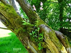 Rote Lichtnelke (Silene dioica) - zu Gast in einer Weide (Salix (warata) Tags: germany deutschland weide pflanze blume blte baum salix schwaben 2016 badenwrttemberg swabia sddeutschland silenedioica southerngermany wildpflanze oberschwaben rotelichtnelke upperswabia schwbischesoberland