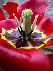 Red Tulip (matttimmons1) Tags: red flower green nature beauty yellow foliage tulip bloom