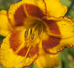 daylily after the rain (Shotaku) Tags: flowers red flower macro water rain yellow closeup garden drops lily lilies daylily raindrops waterdrops daylilies bicolor hemerocallis