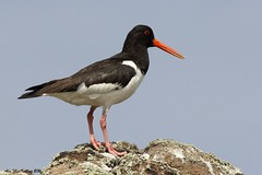 Oystercatcher (AMKs_Photos) Tags: nature animal canon photography eos scotland sailing fife may reserve tourist forth 7d isle pleasure anstruther cruises attraction firth amk visitscotland of amksphotos