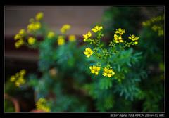 DSC07734 (YKevin1979) Tags: flower floral flora bokeh sony 28mm mc vegetation f2  manualfocus  kiron a7ii   a7m2 a7mark2 ilce7m2
