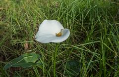 Calla Lily (Chris Smearing) Tags: newzealand flower northisland callalily waitakere karekarebeach