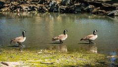 Three Geese in a Row (randyherring) Tags: california park ca bird nature water creek us geese afternoon unitedstates outdoor waterbird recreation waterfowl losgatos canadagoose brantacanadensis losgatoscreek aquaticbird vasonalakecountypark