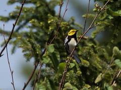 Black-throated Green Warbler, Monchy Woods Road (frank.king2014) Tags: ca canada blackthroatedgreenwarbler gander newfoundlandandlabrador