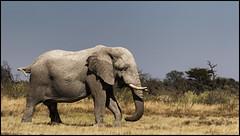 _SG_2016_05_Namibia_0087_IMG_1286 (_SG_) Tags: auto africa park trip elephant tree water car nationalpark wasser solitude desert hole national afrika giraffe ausflug elefant namibia herd baum strauch etosha watering wateringhole elefanten 2016 einde giraffen etoshanationalpark standpost wasserstelle etoshapark elefantenherde giraffenherde giraffesherd