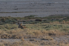 Hunting... can you see her? (robsall) Tags: africa vacation cat canon mammal big feline lion bigcat lions endangered predator 500mm namibia canoneos lioness bigcats carnivore vulnerable 2015 pantheraleo oshana canon500mmf4 largefelines 7dmarkii canon7d2 canon7dmarkii canon7dmark2 robsallphotography 7dm2 7dmark2 7dmii canoneos7dmark2 canon7dm2 canoneos7dm2 canon500mmf4lii canon500mmf4lisiiusm canon500mmf4ii