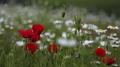 Bloemenweide (nikjanssen) Tags: bloemenweide poppies klaprozen bokeh