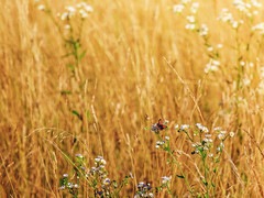Summer -explored- (Sergio '75) Tags: light summer naturaleza nature sergio field grass canon butterfly countryside estate natur naturallight natura daisy margherita farfalla chamomile sommerwiese ef70200mmf4lisusm canoneos70d sergio75