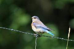 Female Western Bluebird (Sialia mexicana) DDZ_5014 (NDomer73) Tags: bird june bluebird thrush champoeg 2016 westernbluebird champoegstatepark champoegstateheritagearea 26june2016