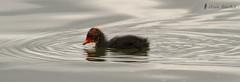 Focha comn, pollo (Fulica atra) (jsnchezyage) Tags: naturaleza bird fauna birding ave pjaro fulicaatra focha