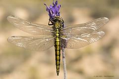 Dewdrops  (Explore 03-06-2016) (jrosvic) Tags: macro closeup spain dragonfly murcia libelula cartagena brilliant odonata entomologia laazohia
