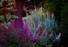 Summer Evening (Colormaniac too) Tags: light summer plants nature colors beauty june garden outside evening colorful glow olympicpeninsula sequim pacificnorthwest washingtonstate perennials flypapertextures photoalchemist