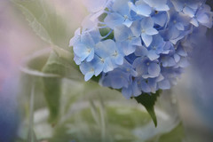 Beauty... (Weirena) Tags: flowers nature colors austria soft poetry wallart quotes hydrangeas textured fineartphotography weirena ireneweisz