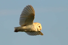 DayFlight (jammo s) Tags: bird nature daylight flying wildlife hunting owl hunter vole barnowl birdofprey tytoalba birdinflight canonef400mmf56lusm canoneos80d