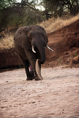 Elephant cooling himself off with sand (3scapePhotos) Tags: africa tanzania animal animals continent cooling elephant himself safari sand tarangire vertical