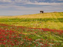 "Paisaje castellano. Serie ""en busca de campos de amapolas"" (RosanaCalvo) Tags: iglesia paisaje campos trigo amapolas tierradecampos"
