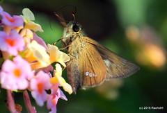 DSC_0805 (rachidH) Tags: flowers nepal lake nature blossoms butterflies insects blooms lantana pokhara fewa phewa papillons skipperbutterfly chestnutbob lambrixsalsala rachidh