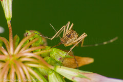 IMG_2901-1-1 (Pascal Guay) Tags: plant flower macro green up closeup bug insect compound eyes close legs insects bugs mosquito mosquitos mosquitoe