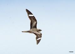 Common Nighthawk, Pawnee Grasslands, Colorado (miketabak) Tags: