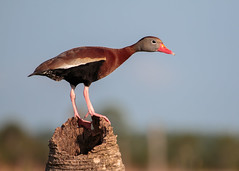 The Lookout (Bill McBride Photography) Tags: dendrocygnaautumnalis blackbelliedwhistlingduck blackbellied whistling duck bird avian waterfowl nature wildlife ritchgrissommemorial wetlands viera melbourne fl florida spring tree june 2016 canon eos 70d ef100400l