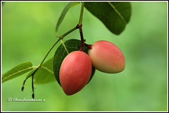 6238 - cherries (chandrasekaran a 34 lakhs views Thanks to all) Tags: trees india macro nature fruits cherries chennai tamron90mm canon60d