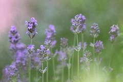 Le parfum de son essence (CcileAF) Tags: colour macro nature canon countryside spring purple bokeh lavender dreamy